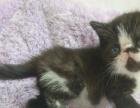家养黑白和玳瑁加菲猫宝宝,包一年猫瘟,内含