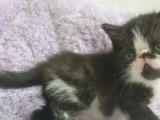 家养黑白和玳瑁加菲猫宝宝,包一年猫瘟,内含视频
