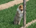 哪里有卖苏格兰牧羊犬的 苏格兰牧羊犬好养吗