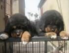 宁波那里有藏獒犬卖 宁波藏獒犬价格 宁波藏獒犬多少钱