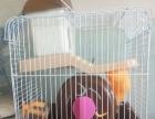 养了两个月大仓鼠。