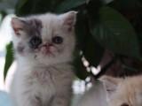 自家养的三花净梵加菲猫宝宝找新家啦