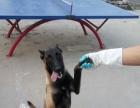 纯种马尔济斯犬