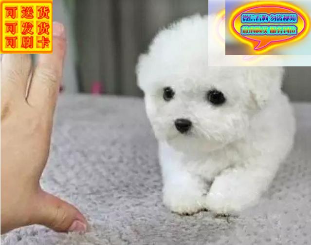 超小体茶杯泰迪犬包纯种包健康