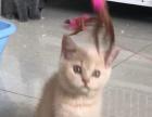 两个月英国短毛猫