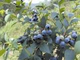 优质组培脱毒蓝莓苗 南方果树苗新品种 南高丛蓝莓苗 薄雾系列