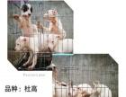 猎犬之王杜高,专业狗场繁殖