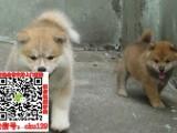 漳州售日本柴犬带纯种血统证书疫苗本出售卖的就是品质