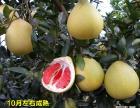 琯溪三红肉蜜柚苗100棵起批 产地直销