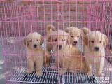 金毛幼犬 当面检测 售后包退换 血统绝对纯种
