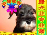 纯种健康雪纳瑞犬 正规狗场可签订协议 健康质保终身