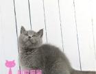 英短蓝猫家养猫咪出售 包纯种健康的 疫苗已做