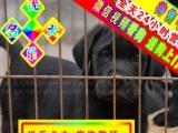 拉布拉多犬——送狗用品——24小时营业——可刷卡