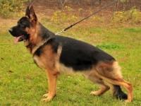 犬舍直销纯种德国牧羊犬 马犬 疫苗驱虫已做包健康