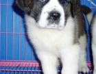 高品质的圣伯纳幼犬出售了 疫苗做完 质量三包
