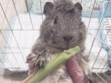 雕灰色的短逆荷兰猪豚鼠天竺鼠MM