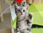 正规自家猫叔猫舍宠物美短血统纯正健康价格便宜