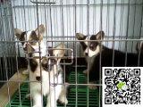 三色柯基犬两色柯基犬出售本地哪里有犬舍出售纯正柯基犬