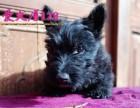 北京宠物狗纯种黑色 苏格兰梗犬 幼犬出售保活不掉毛适合家养