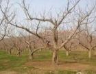 金普新区自家37亩果园土地