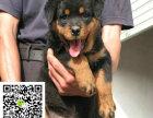 在哪里买纯种的罗威纳幼犬 罗威纳幼犬最低多少钱