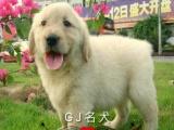 专业繁殖纯种大骨架赛级金毛幼犬-包纯种健康