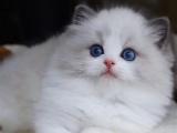 上海虹口純種仙女貓低價出售