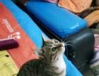 可爱小狸猫求收养