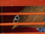 长期出售精品生 熟画眉鸟