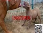 两个月小马犬多少钱一只 纯种马犬价格图片