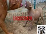 漳州比特犬专业养殖基地签证包活