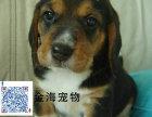 出售纯种比格犬活泼可爱疫苗驱虫已做齐全包健康签协议