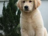 佛山养狗场出售多种宠物狗 纯种金毛犬多少钱一只 多窝挑选