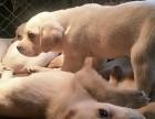 3个月奶白色拉布拉多犬出售