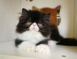 自家猫舍繁育波斯猫 包纯种 包健康