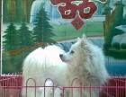 出售自家繁殖银狐犬
