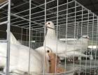 濮阳鸽子 养鸽加盟致富 提供技术 包全部销路
