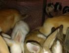 养殖场直批种兔苗