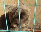 纯种英国短毛猫 自己家养的因外出工作无力照顾
