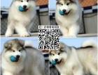 狗场直销纯种健康阿拉斯加雪橇犬 健康包养活 购宠签协议
