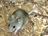 烟台专业灭老鼠服务 除鼠防鼠公司