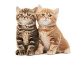 成都本地正规猫舍出售高品质纯种金渐层猫咪