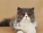 宠物猫咪活体 挑选小加菲猫折耳猫英短猫蓝猫波斯
