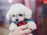 潮州犬舍直销纯种健康可爱的泰迪幼犬 终身售后保障