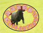 中国较大繁殖基地 出售健康纯种拉布拉多 签协议