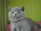 纯正健康蓝猫——有现货【包养活】送猫砂