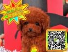 签订协议 专业繁殖精品 泰迪幼犬 正规犬舍 售后无忧有保障