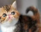 泰安本地加菲猫猫舍 随时上门看猫