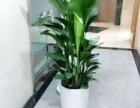 番禺室内绿萝 发财树植物租摆 盆栽租赁 花木出售