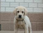 萌翻了 可爱到让人尖叫的导盲犬拉布拉多小Q宝宝